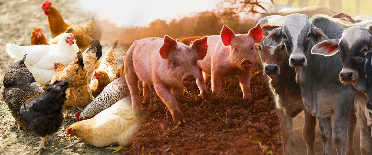 Chicken, pigs and cattle eating animal feed processed by CPM equipment