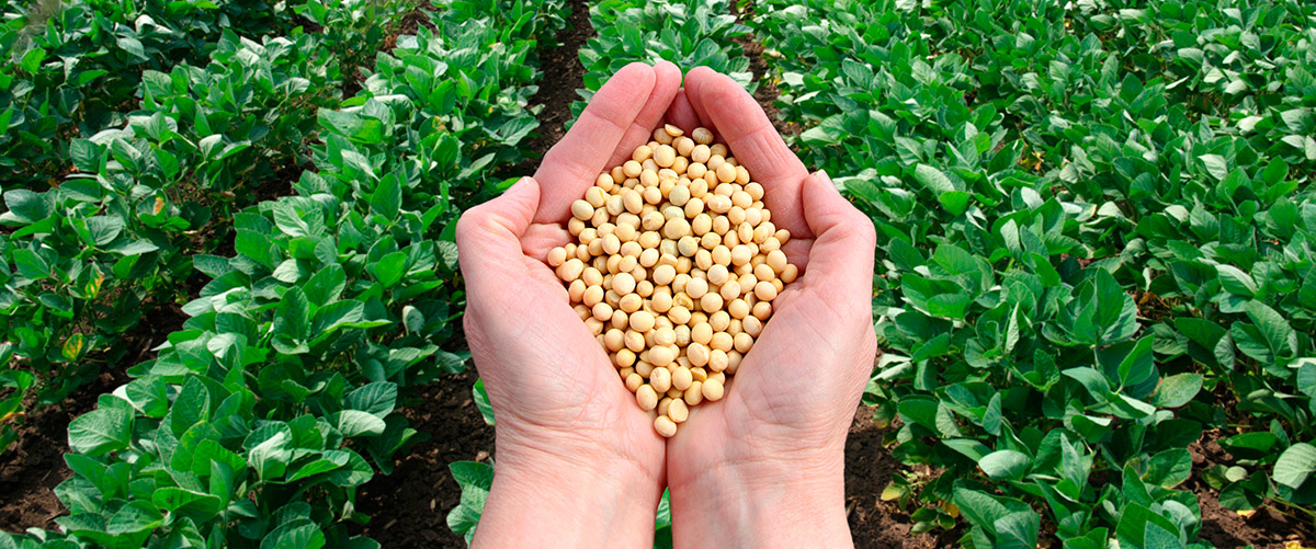 A soybean field behind a pair of hands holding a scoop of soybeans